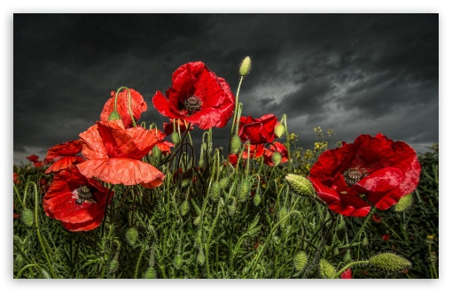 red_poppy_field_2-t2